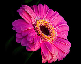 Wallpapers Gerbera Closeup Black background Pink color flower