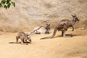 Pictures Kangaroo Cubs Three 3