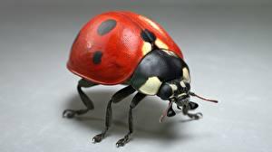 Desktop wallpapers Ladybugs Closeup Gray background Jocelyn Strob Simard Animals