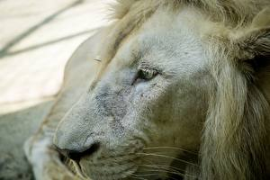 Papel de Parede Desktop Leões Focinho Branco Animalia