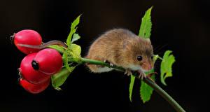 Hintergrundbilder Mäuse Schwarzer Hintergrund Ast Hagebutte Tiere