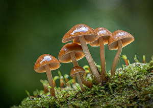 Picture Mushrooms nature Closeup Moss clustered bonnets Nature