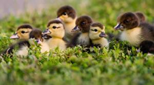 Images Nestling Duck Birds