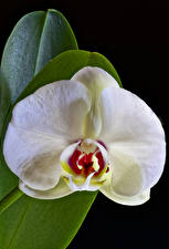 Photo Orchid Closeup Black background White Flowers