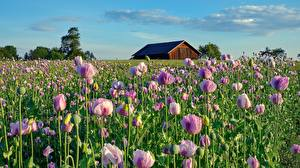 Pictures Papaver Fields Pink color Flowers