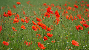 Wallpapers Poppies Grass