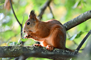 Image Squirrels Nuts Blurred background Branches animal