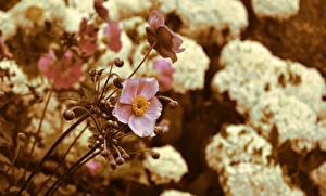 Sfondi desktop Anemoni Sfondo sfocato Rosa colore fiore