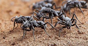 Photo Ants Insects Many platythyrea conradti Animals