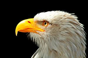 Pictures Birds Closeup Beak Bald Eagle Head Black background Animals