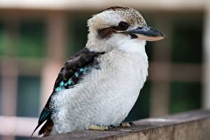 Image Birds Closeup Bokeh Kookaburra Animals