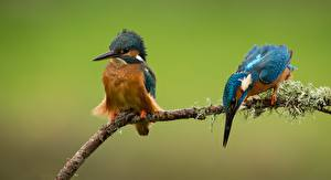 Wallpapers Birds Common Kingfisher Branches Two Animals pictures images