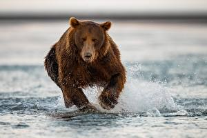 Fondos de escritorio Un oso Oso pardo Agua Correr Animalia