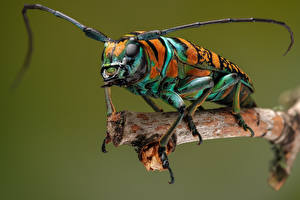 Fotos Käfer Insekten Nahaufnahme anatragus pulchellus ein Tier