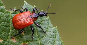 Fonds d'écran Coléoptères Insectes En gros plan apoderus coryli Animaux images