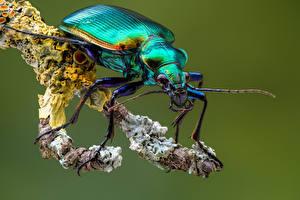 Fonds d'écran Coléoptères Insectes En gros plan calosoma Animaux images