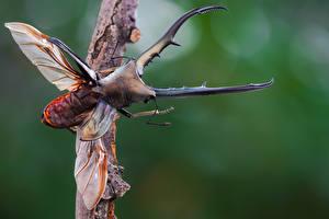 Bilder Käfer Insekten Großansicht cyclommatus metallifer ein Tier