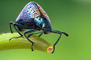 Hintergrundbilder Käfer Insekten Großansicht cypherotylus Tiere