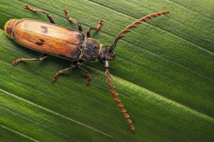Fotos Käfer Insekten Großansicht gigantotrichoderes flabellicornis ein Tier