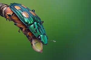 Hintergrundbilder Käfer Insekten Großansicht helota vigorsi Tiere