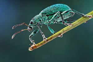 Pictures Bugs Insects Closeup phyllobius blue