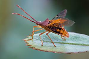 Hintergrundbilder Käfer Insekten Nahaufnahme smalle randwants Tiere