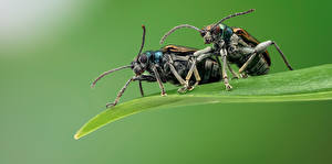 Images Bugs Insects Two chrysomelid Animals