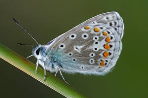 Wallpaper Butterfly Insects Closeup common blue