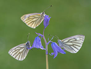 Image Butterflies Insects Three 3 green-veined whites animal