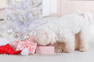 Image Christmas Dogs Bolognese New Year tree Balls Present animal