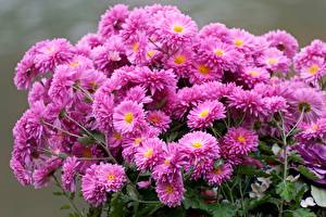 Pictures Chrysanthemums Bouquets Many Pink color Flowers