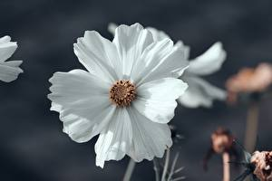 Images Closeup Cosmos plant Bokeh White Flowers