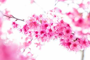 Photo Closeup Flowering trees Pink color Branches Sakura Flowers