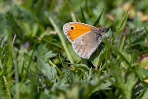 Picture Closeup Macro Butterfly Insects Grass Coenonympha pamphilus Animals