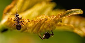 Fonds d'écran En gros plan Macro Insectes Fourmi Feuillage Bokeh Animaux images