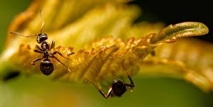Wallpapers Closeup Macro photography Insects Ants Leaf Bokeh Animals