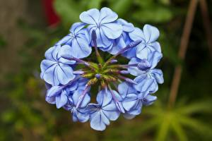 Wallpapers Closeup Bokeh Light Blue Plumbago flower