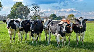 Wallpapers Cows Many Grass Animals