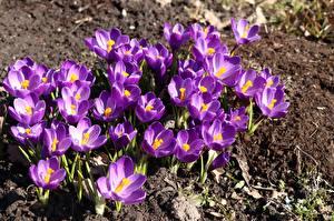 Sfondi desktop Crocus Molte Violetto fiore