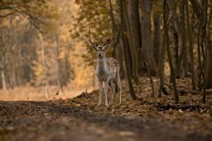 Photo Deer Autumn Forests Bokeh animal