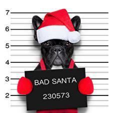 Photo Dogs French Bulldog Christmas Funny Winter hat BAD SANTA