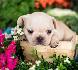 Images Dog French Bulldog White Puppies Animals