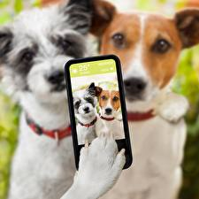 Image Dogs Selfie Smartphones Jack Russell terrier Paws