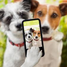 Image Dogs Selfie Smartphones Jack Russell terrier Paws animal