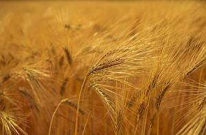 Wallpapers Fields Ear botany Bokeh Barley
