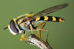 Fotos Fliegen Insekten Hautnah syrphidae ein Tier