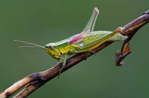 Hintergrundbilder Heuschrecken Hautnah Insekten goudsprinkhaan ein Tier