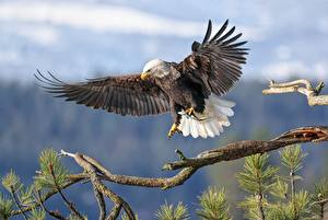 Desktop hintergrundbilder Habicht Vogel Weißkopfseeadler Ast Jagd Tiere