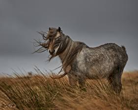 Hintergrundbilder Pferde Wind