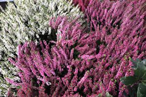 Picture Many Multicolor Calluna Flowers